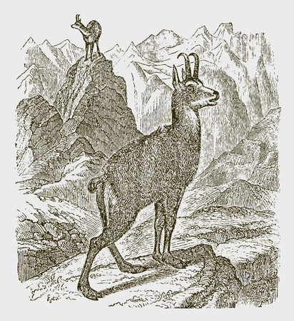 Two chamoises (rupicapra) standing in a rocky landscape. Illustration after a historic engraving from the 19th century Vector Illustration