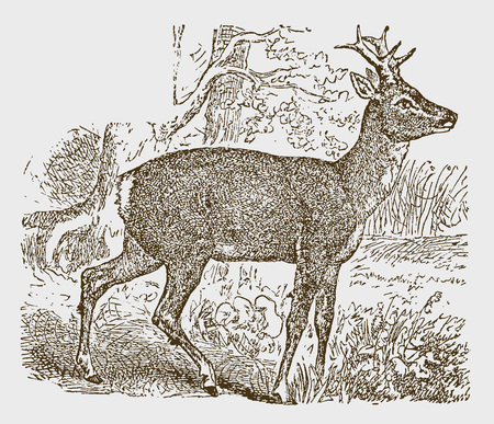 European male roe deer (capreolus) standing in a landscape with trees. Illustration after a historic engraving from the 19th century. Easy editable in layers