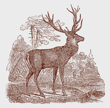 Male red deer (cervus elaphus) stag standing in a landscape. Illustration after a historic engraving from the 19th century