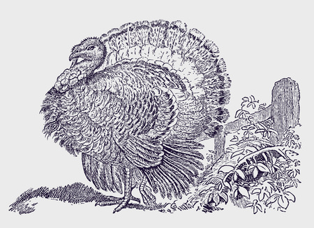 Male wild turkey (meleagris gallopavo) displaying the tail fan feathers. Illustration after a historic engraving from the 19th century. Editable in layers Çizim