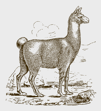 Llama (lama glama) in side view. Illustration after a historic engraving from the 19th century. Editable in layers