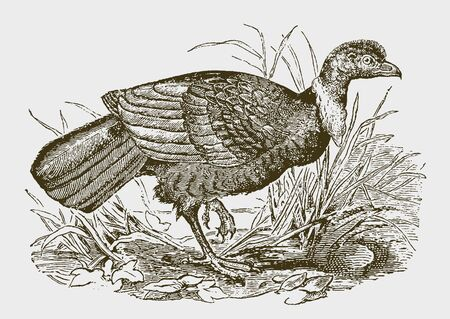 Australian brushturkey (alectura lathami) walking through grasses. Illustration after a historic engraving from the 19th century. Editable in layers