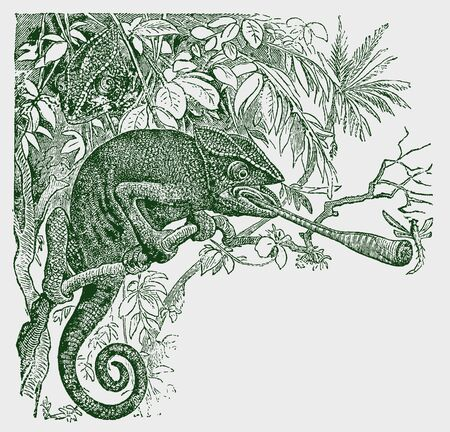 Common or mediterranean chameleon (chamaeleo chamaeleon) sitting on a tree capturing an insect with its long tongue. Illustration after a historic engraving from the 19th century. Editable in layers