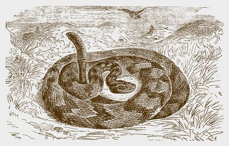 Timber, canebrake or banded rattlesnake (crotalus horridus) in a defensive posture. Illustration after a historic engraving from the 19th century. Editable in layers Imagens - 128800109