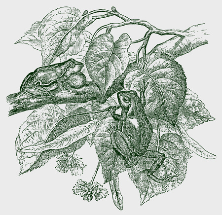 Two european tree frogs (hyla arborea) sitting on a tree. Illustration after a historic engraving from the 19th century