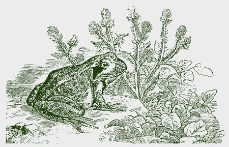 Common frog (rana temporaria) sitting in front of a thistle plant. Illustration after a historic engraving from the 19th century. Editable in layers