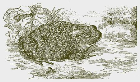 Common or european toad (buffalo) sitting on the ground. Illustration after a historic engraving from the 19th century. Editable in layers