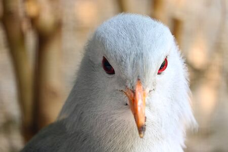 Head of a rare and endangered kagu (rhynochetos jubatus) in frontal view