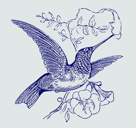 Ruby-throated hummingbird (archilochus colubris) hovering in front of a flower blossom and sucking nectar. Illustration after an engraving from the 19th century. Editable in layers