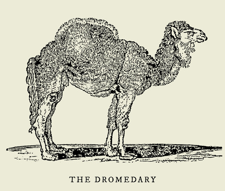 The dromedary (camelus dromedarius) in side view (after an antique or vintage woodcut engraving illustration from the 18th century)