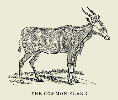 The common eland (taurotragus oryx) in side view (after an antique or vintage woodcut engraving illustration from the 18th century) Stock Vector - 128800451