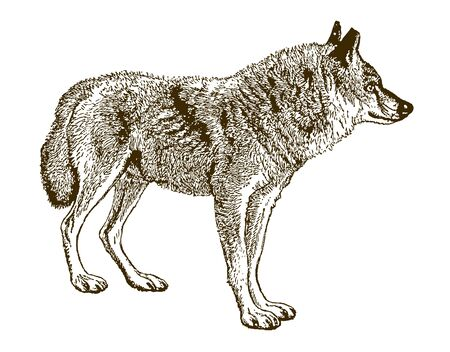 Indian wolf (canis lupus pallipes) isolated on white background. Illustration after an engraving from the 19th century Çizim