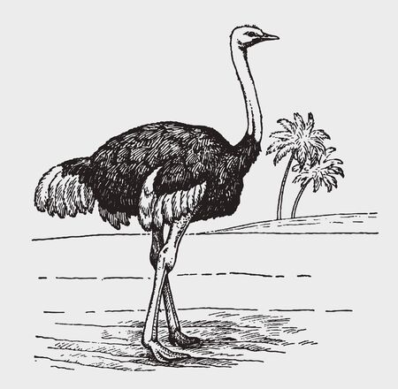 Male common ostrich (struthio camelus) in side view standing in an african  landscape. Illustration after a historic engraving from the early 20th century