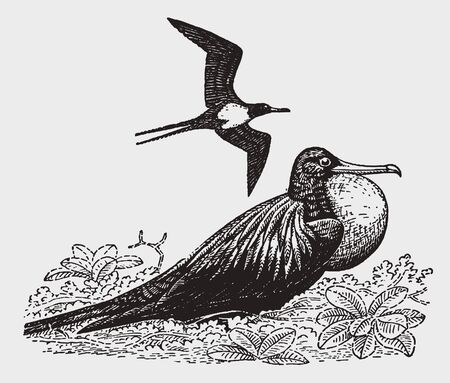 One frigatebird or man-o-war bird (fregata) inflating its throat pouch, another one is flying above. Illustration after a historic engraving from the early 20th century Çizim