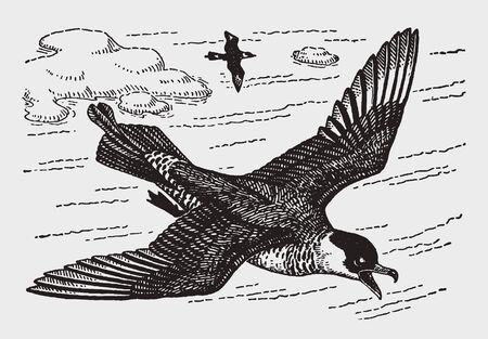 Pomarine jaeger (stercorarius  pomatorhine) flying over two islands in the sea. Illustration after a historic engraving from the early 20th century. Editable in layers Ilustração