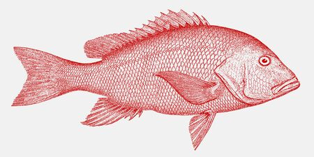 Threatened northern red snapper, lutjanus campechanus, a fish from the atlantic in side view