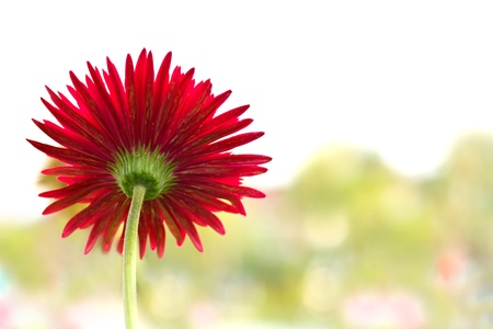 Gerbera flower,shallow dof shot Stock Photo - 8877597