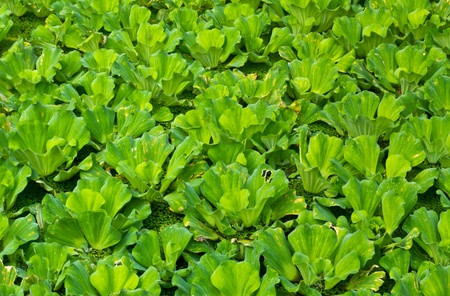 Water Lettuce used for treatment wastewater