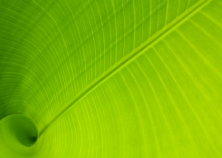 leaf close up: Banana leaf use as background