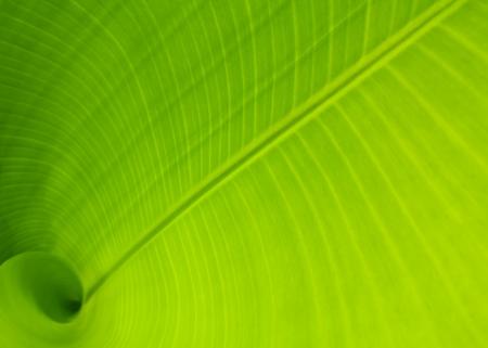 banana leaf: Hoja de banana usar como fondo