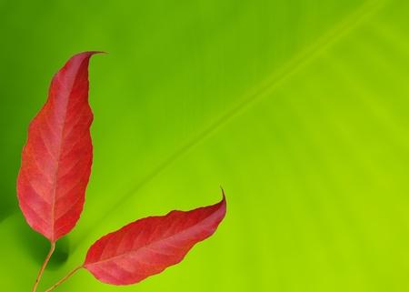 Red leaf on banana leaf background photo