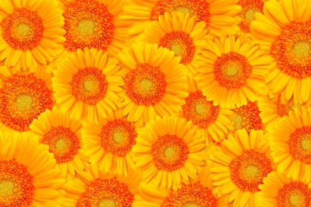 Background of Gerbera or Daisy flowers Stock Photo