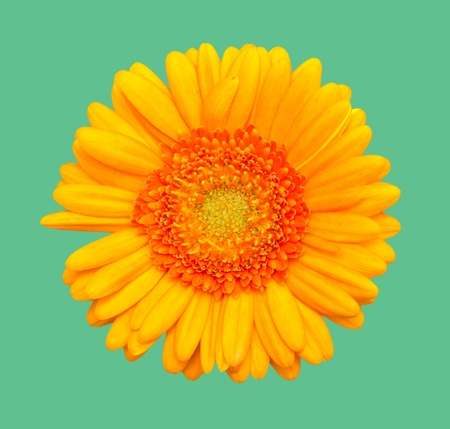 Yellow Daisy  flower isolated on green background Stock Photo