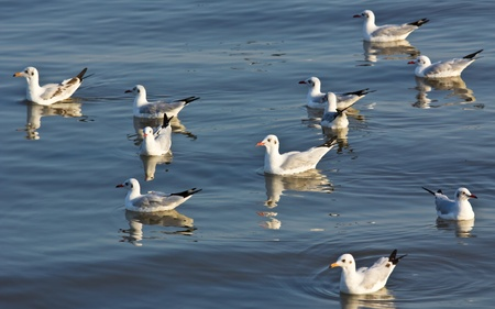 Group of  Seagulls swimming in the sea