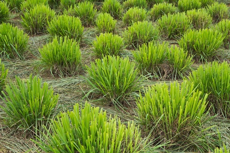 Lemongrass farm Stock Photo