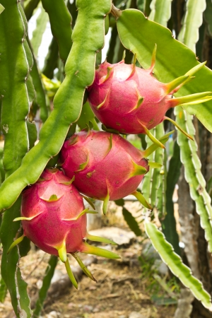 Dragon fruit tree Stock Photo