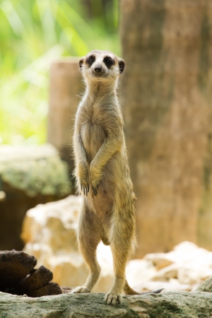 Meerkat standing and look at camera Stock Photo