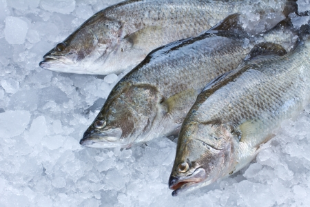 calcarifer: Fresh Seabass chilled on ice
