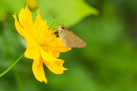 Butterfly on yellow cosmos Stock Photo