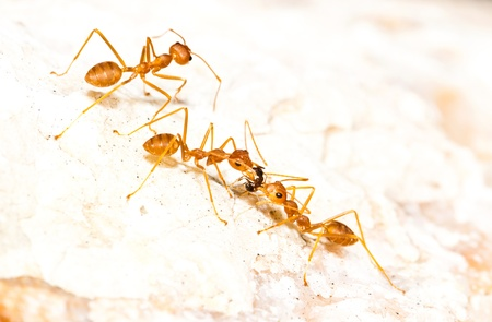 Red Ant carrying food