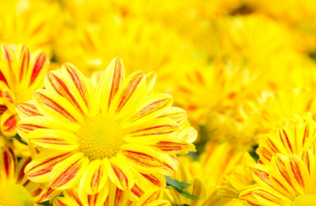 Yellow Chrysanthemum flower photo