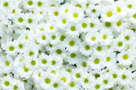 White Chrysanthemum flower background photo