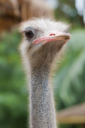 primer plano cara: Avestruz cara de cerca Foto de archivo