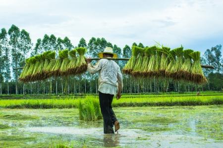 Farmer in paddy