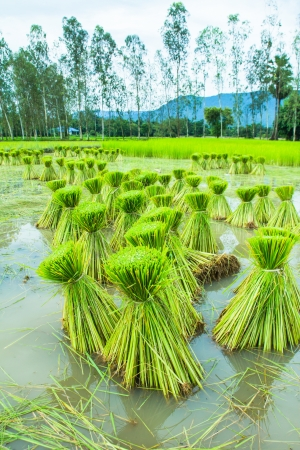 Rice seedling in paddy