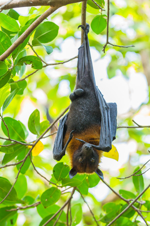 pteropus: Flying fox hanging on the tree