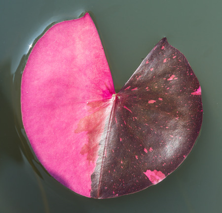 Water Lily leaf is heart shape Stock Photo