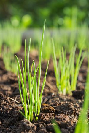 granja: Cruzamiento de cebollas en la plantaci�n Foto de archivo