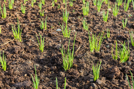 Seedling of Onions in plantation Stock Photo
