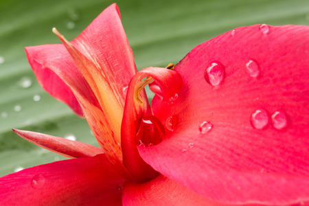 Canna flower with rain drops