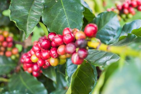 arbol de cafe: Árbol de café Foto de archivo