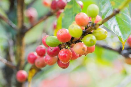 arbol de cafe: �rbol de caf� Foto de archivo