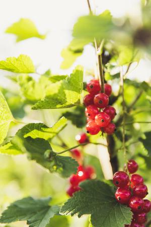 urban gardening: urban gardening red currant