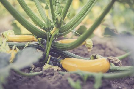 guerilla: urban gardening zucchini