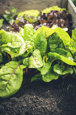 guerilla: fresh bio leaf salad raised bed Stock Photo