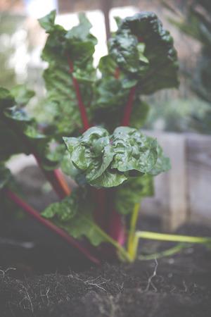 Urban Gardening Selbstversorger mit Hochbeet Standard-Bild - 47225396